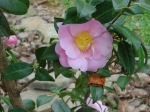 camellia-winters-interlude-21