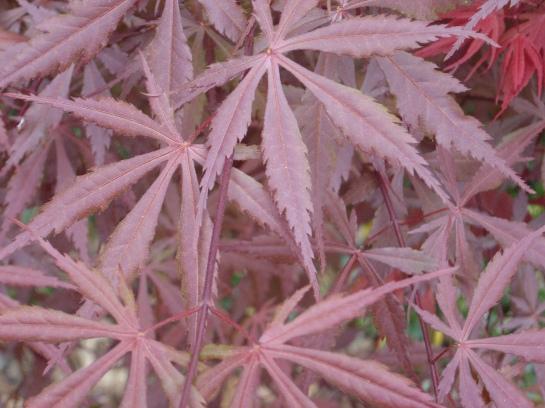 Burgundy Lace Japanese maple