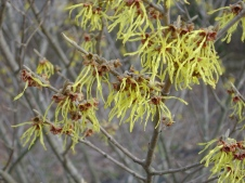 witch-hazel-arnolds-promise-1021