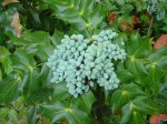 mahonia-beali-fruit