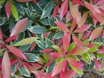 pieris-flaming-silver2