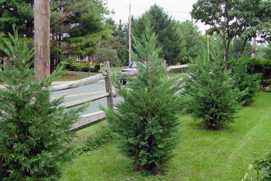 cypress-leyland-new1