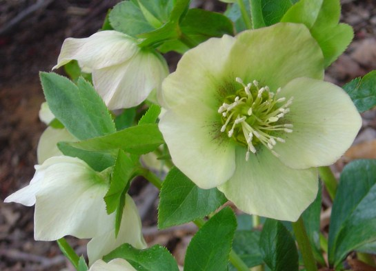 helleborus4-mid-march1