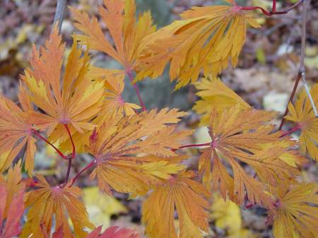 most japanese maples are acer
