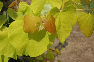 cercis-hearts-of-gold1