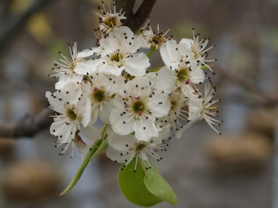 Flower of the Callery pear