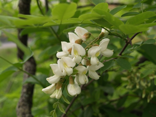 Black locust in bloom