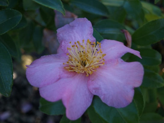 Camellia Winter's Star