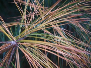 White pine yellowing needles