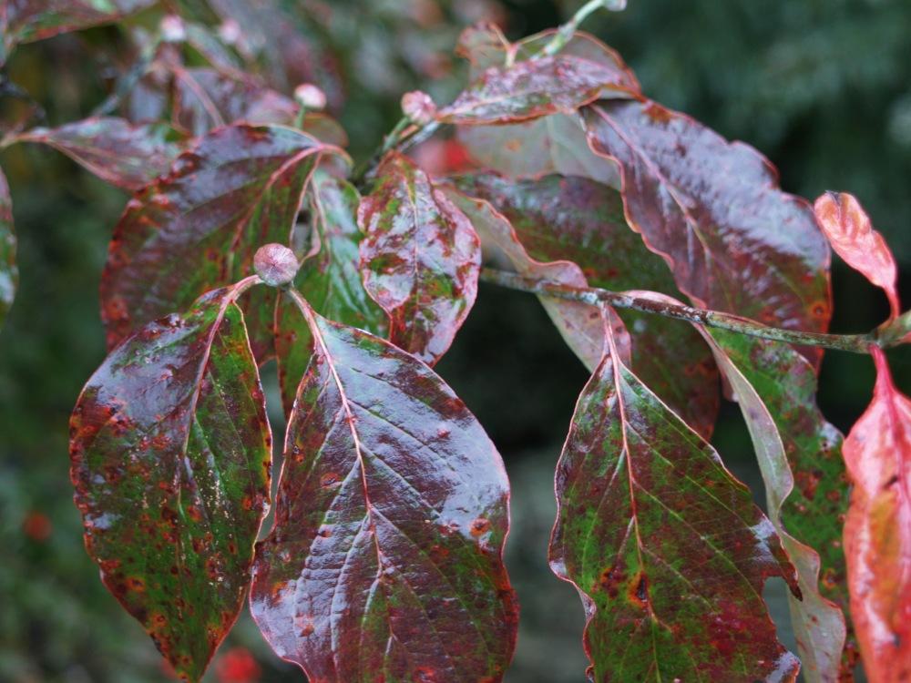 Dogwood autumn foliage in November