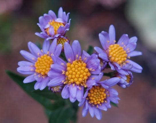 Tatarian daisy