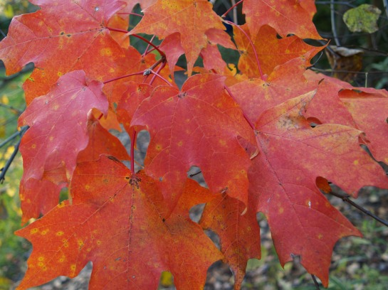 Sugar maple autumn foliage