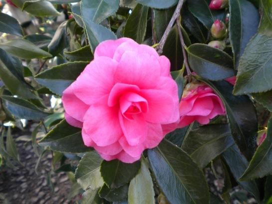 Camellia Chansonette
