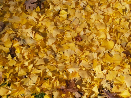 Ginkgo Autumn Gold leaves on the ground
