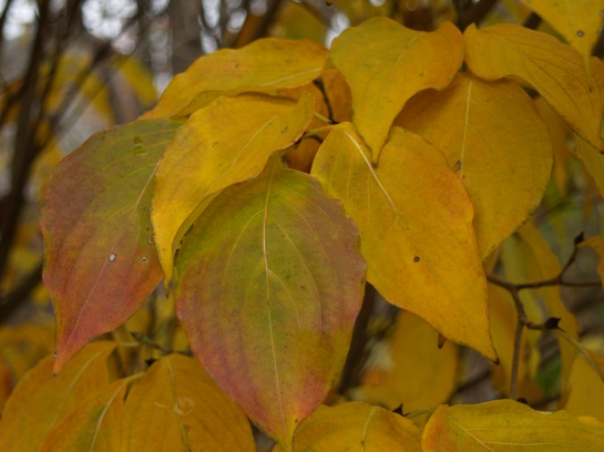 Kousa dogwood fall foliage