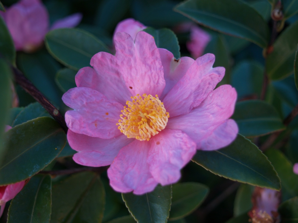 Winter's Star camellia in late November