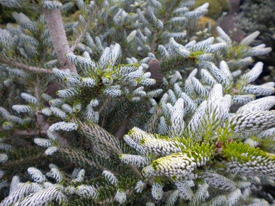 Horstmann's Silberlocke fir