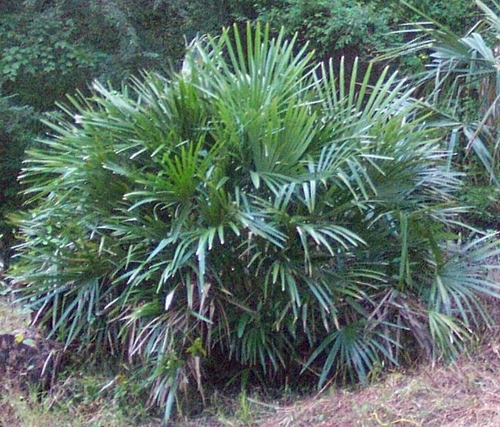 Pictorial Dictionary Needle Palm