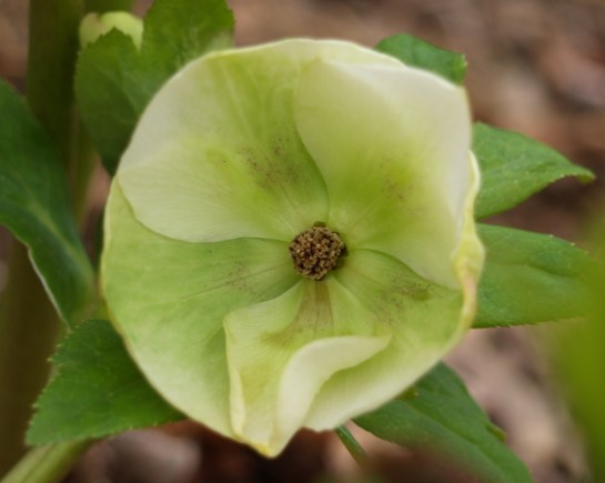 Hellebore in February
