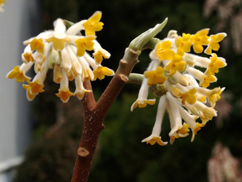 Edgeworthia in March