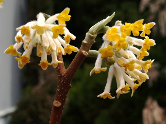 Edgeworthia in March