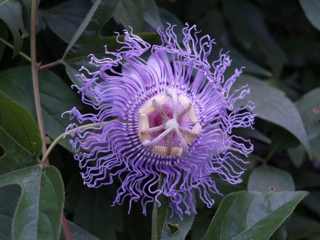 Passion flower vine