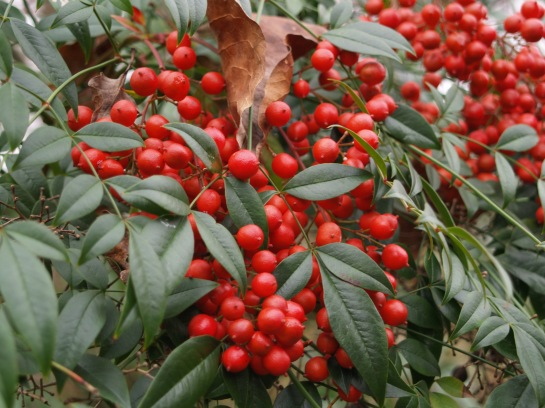 Nandina berries in December