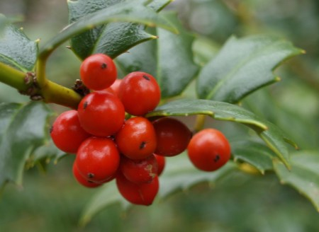 Holly berries in January