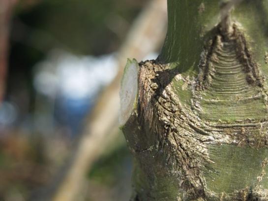 A clean pruning cut