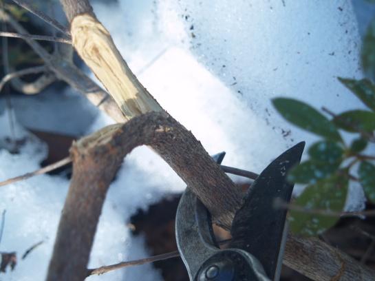 Broken azalea branch