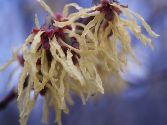 Arnold's Promise witch hazel