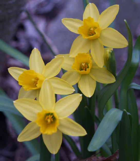 February Gold narcissus