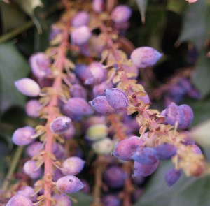 Mahonia Winter Sun berries