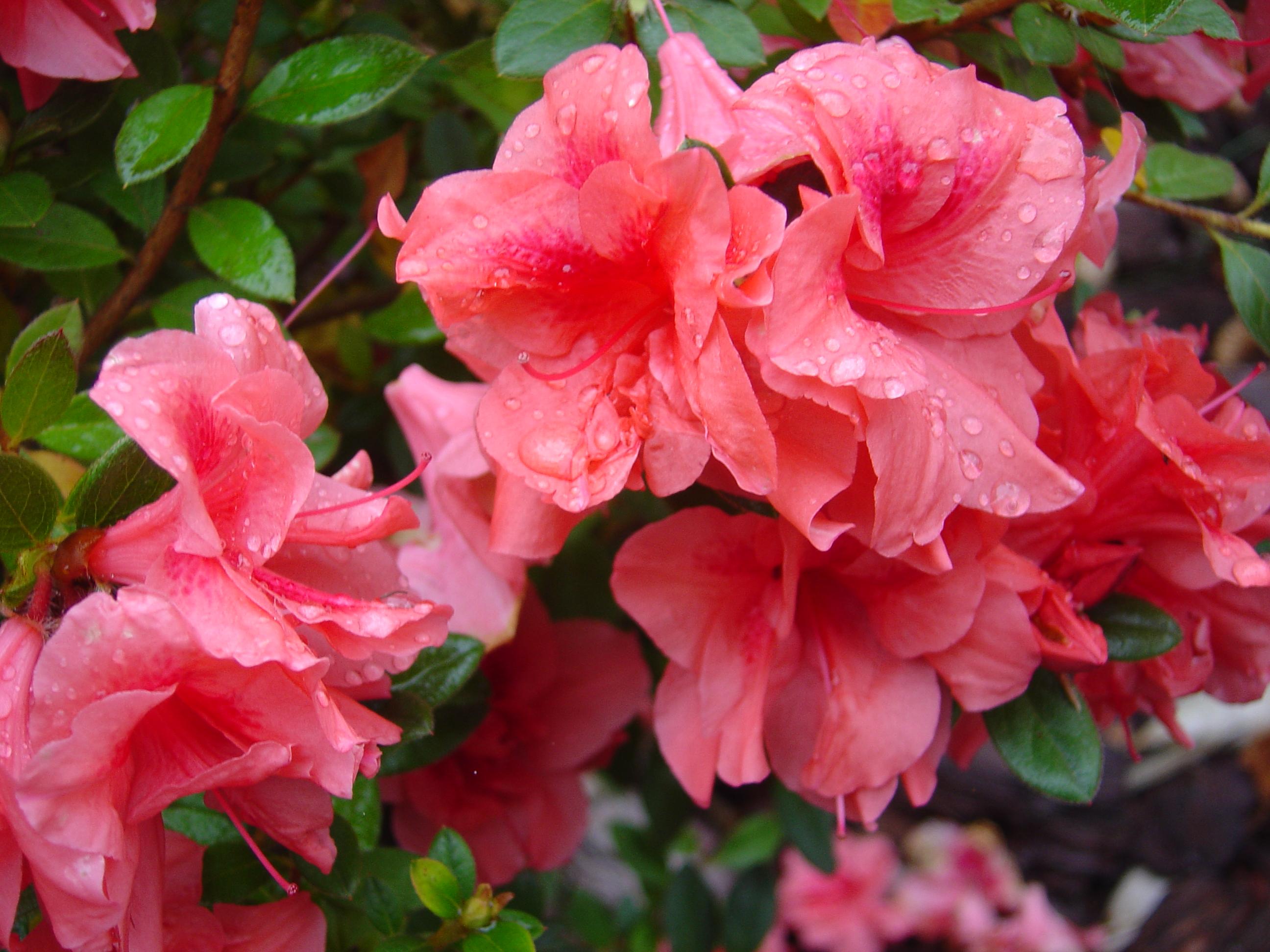 Pity the poor azalea ramblin 39 through dave 39 s garden for The azalea