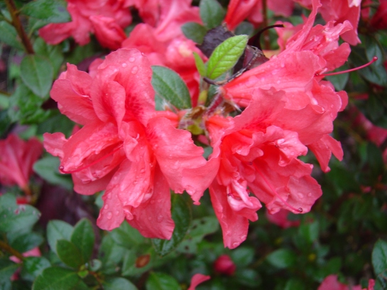 Autumn Rouge azalea