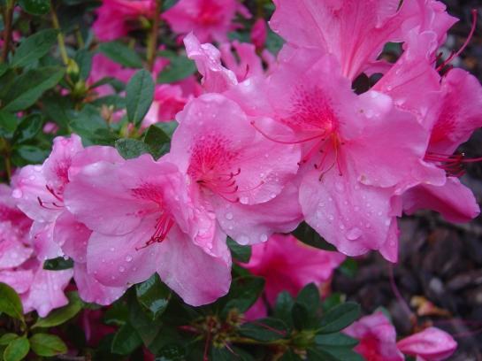 Autumn Royalty azalea