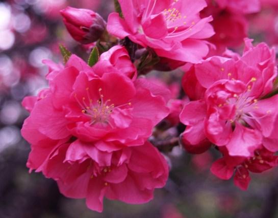 Dwarf peach in bloom