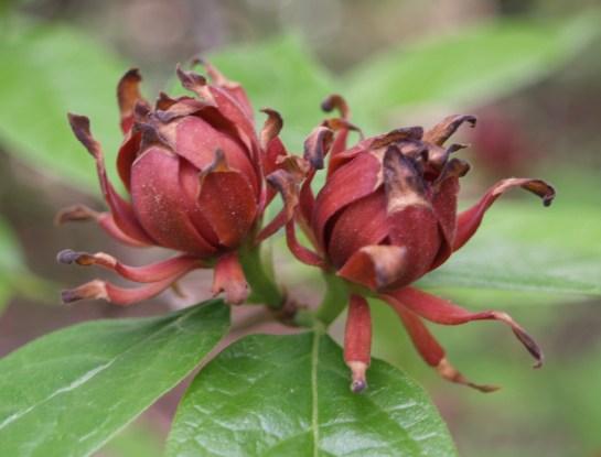 Sweetshrub
