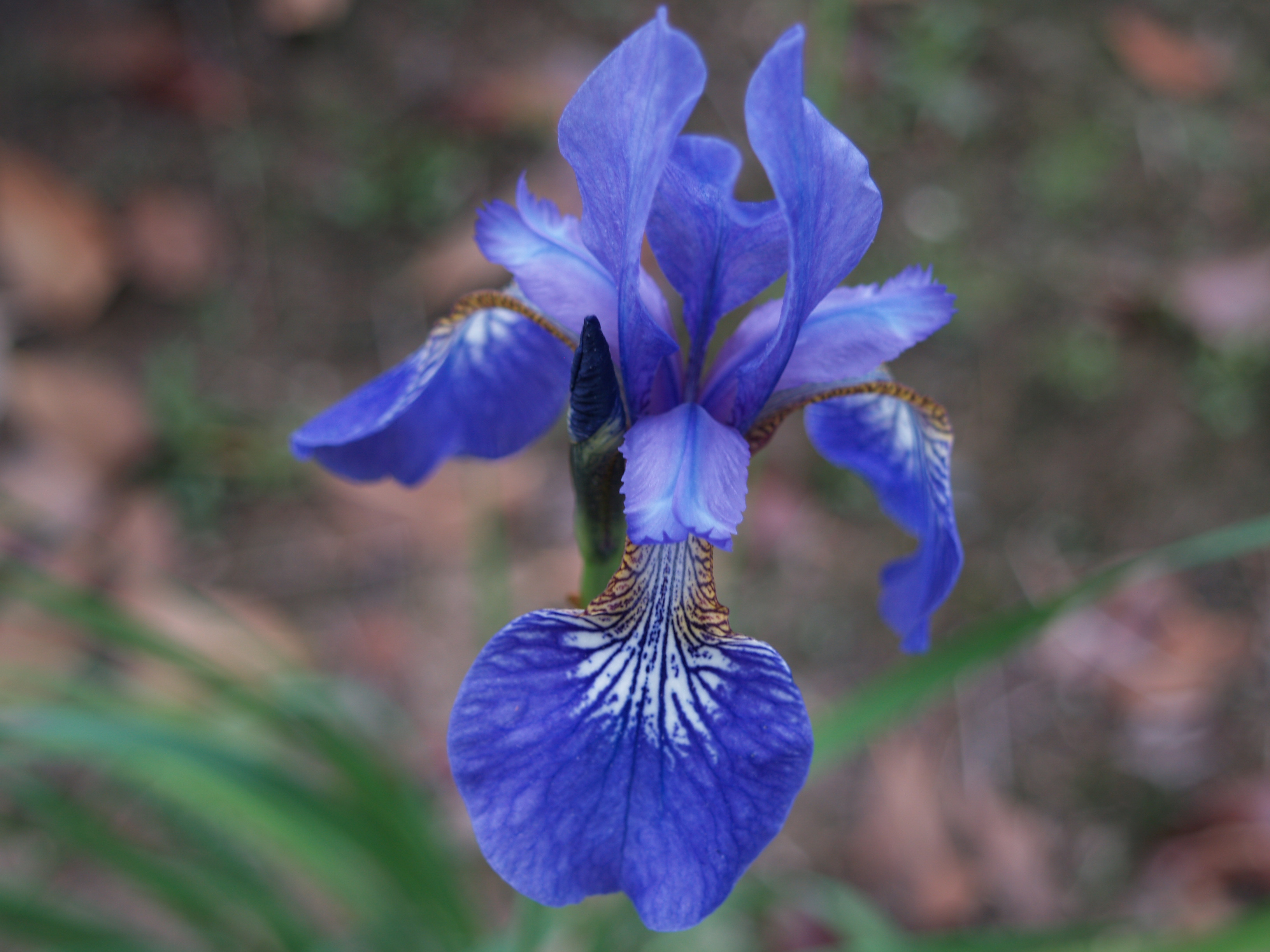 Japanese Irises Ramblin Through Daves Garden
