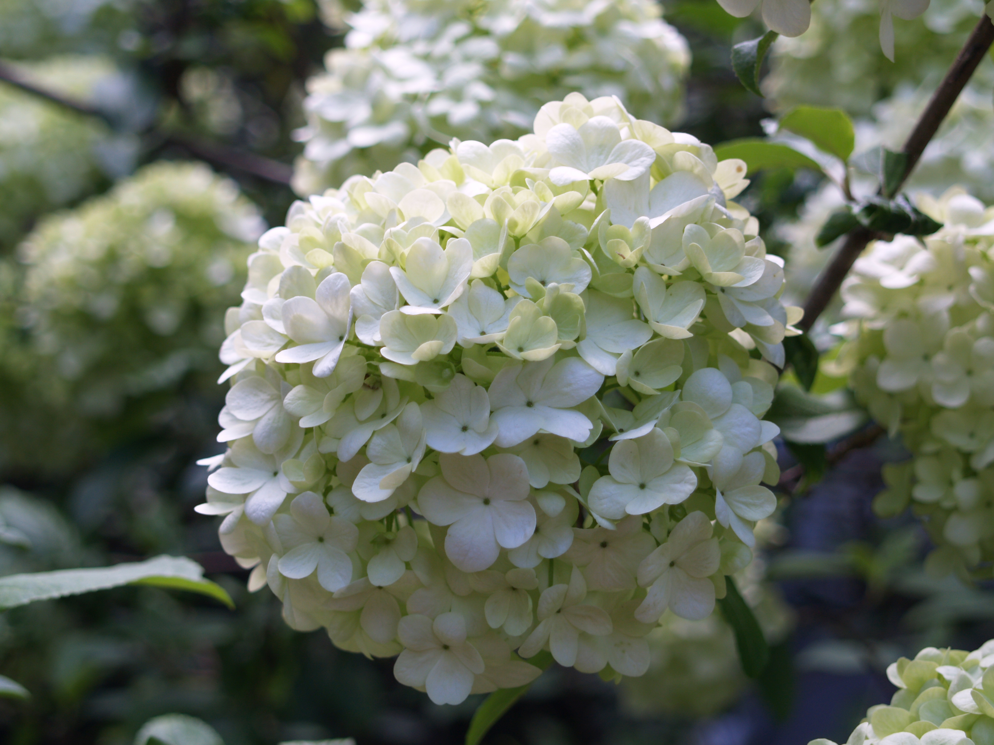 Big blooms small flowers ramblin through daves garden snowball viburnum mightylinksfo