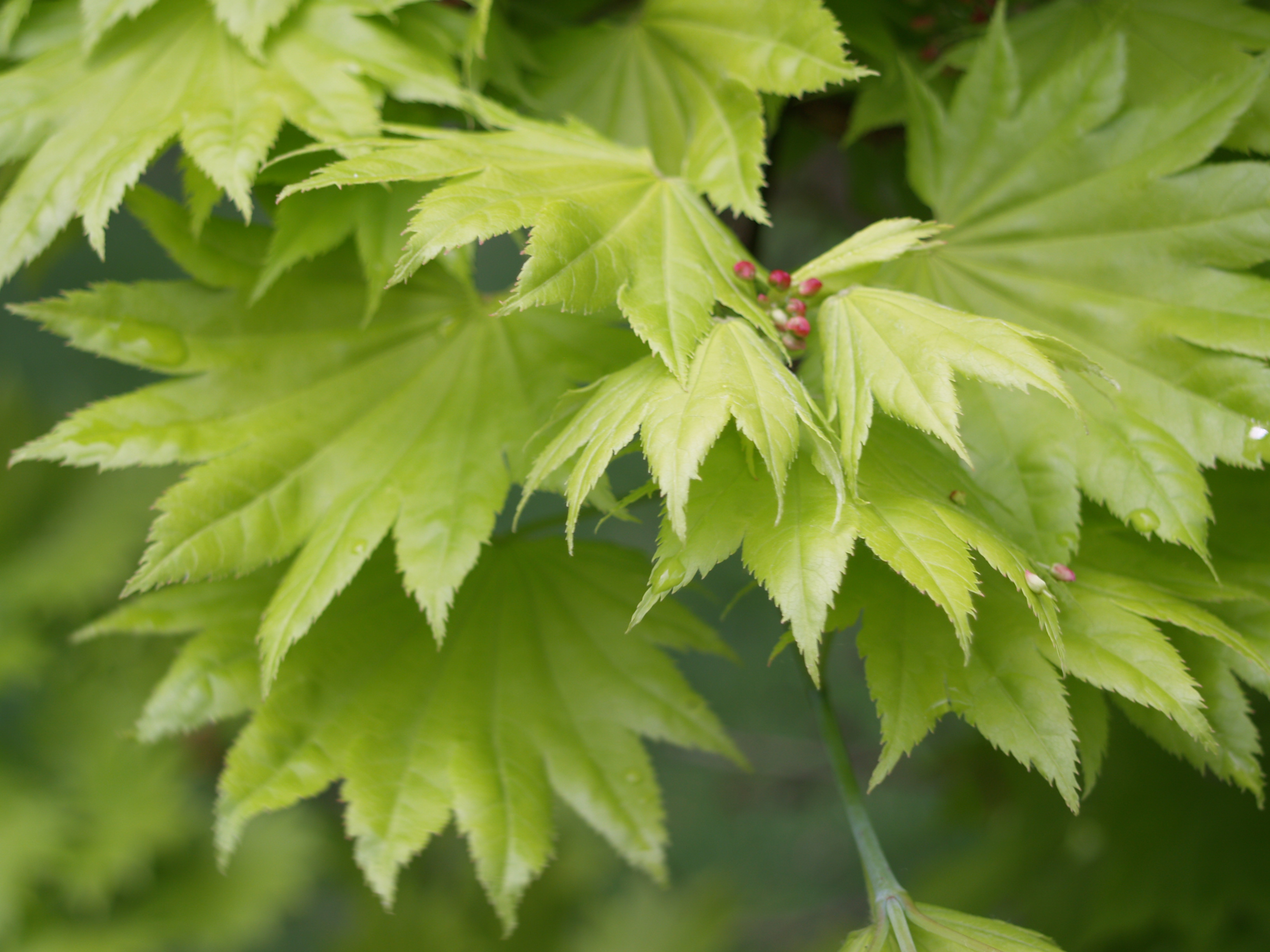Image Gallery Narrow Japanese Maple Leaves