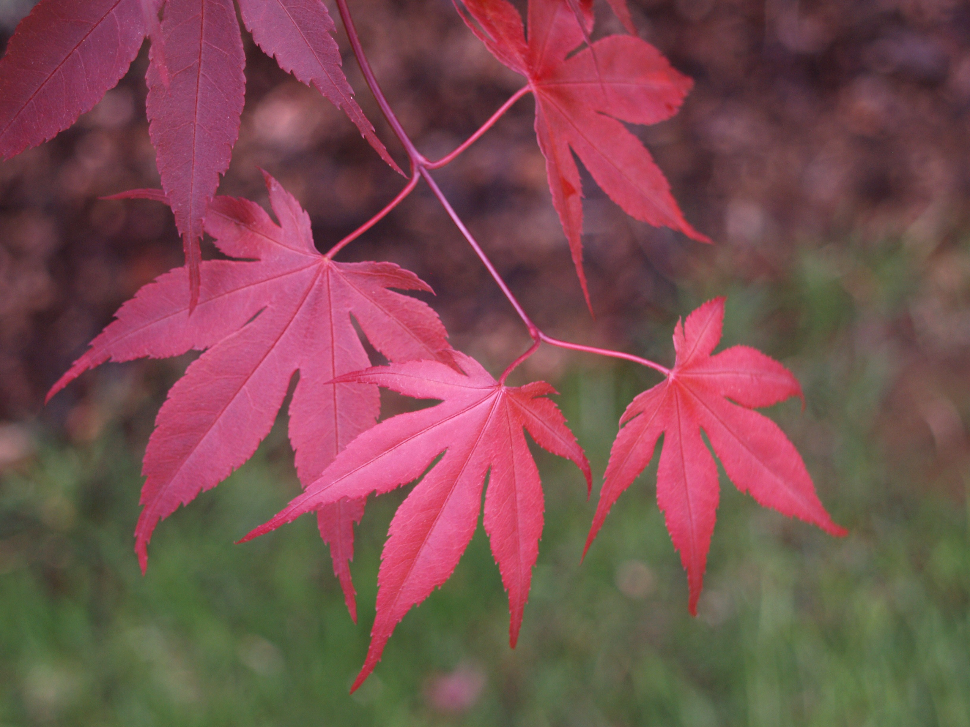 Red Dragon Maple Red Dragon or Ever Red
