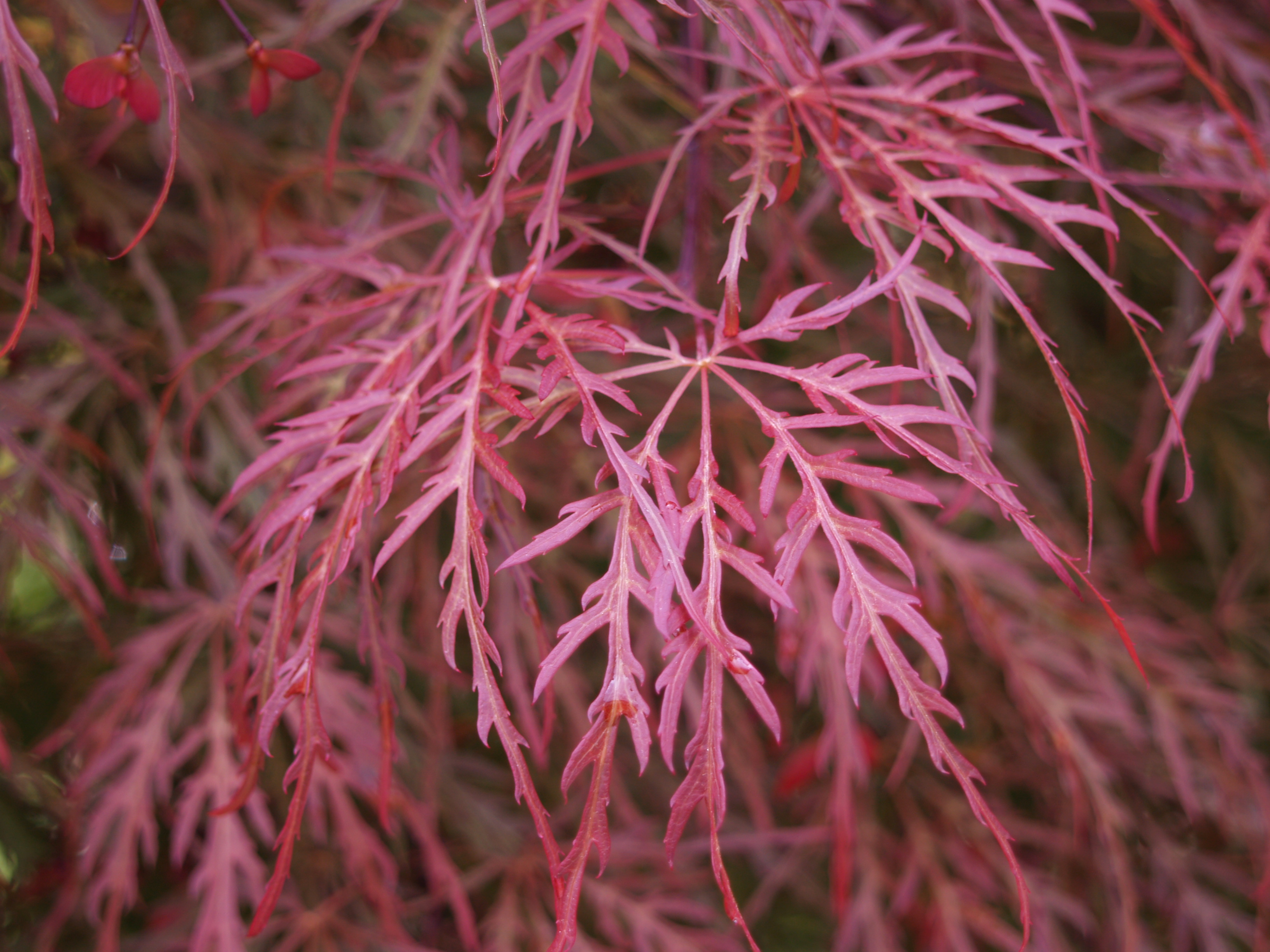 How to care for a fern leaf japanese maple - Weeping Maples With Red Leaves