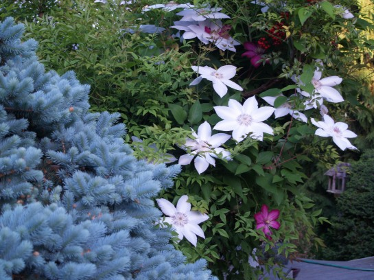 Henryi clematis growing from nandina into Globosa blue spruce