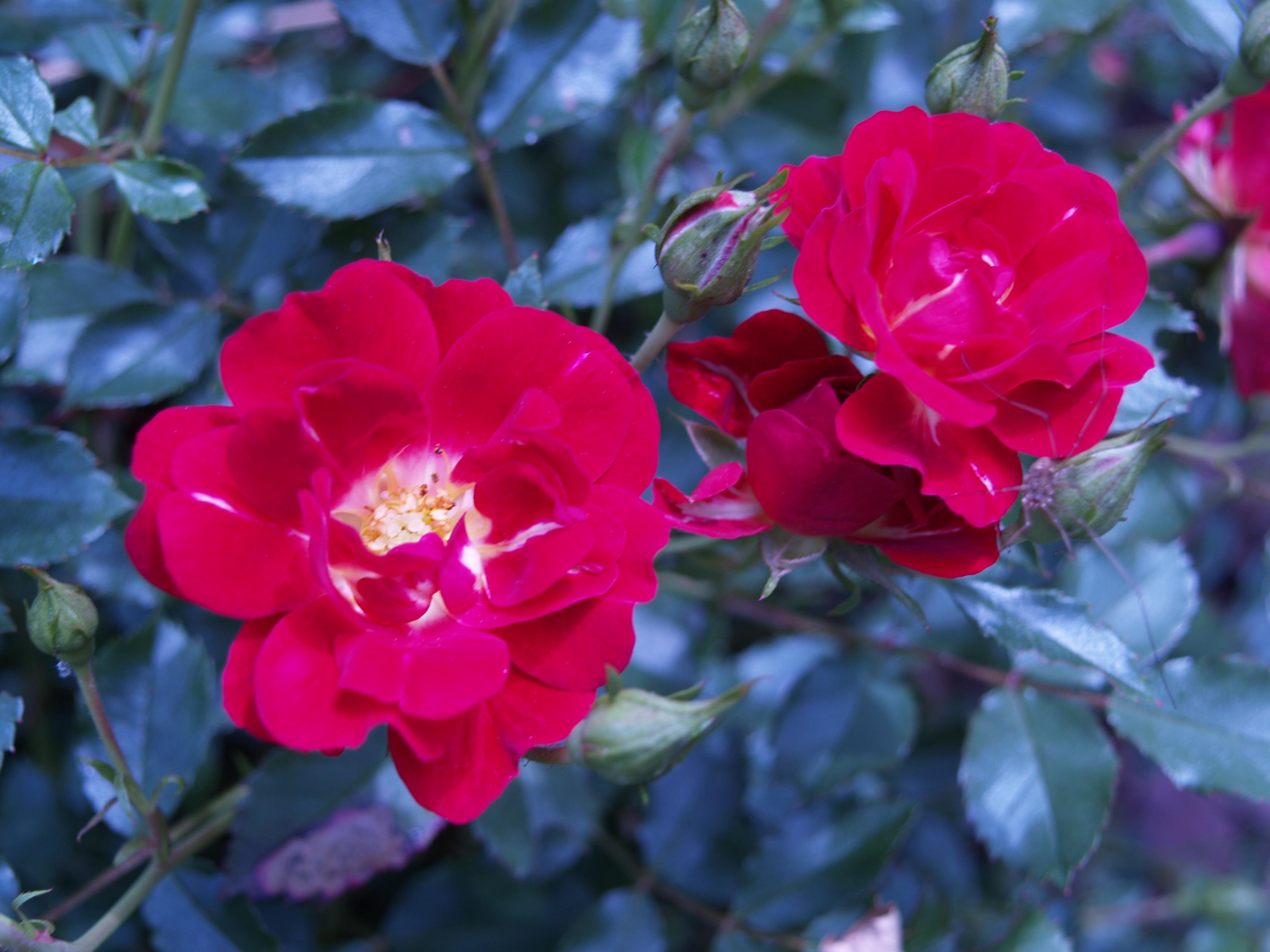 Carpet Roses Vs Knockout Roses - Carpet Vidalondon