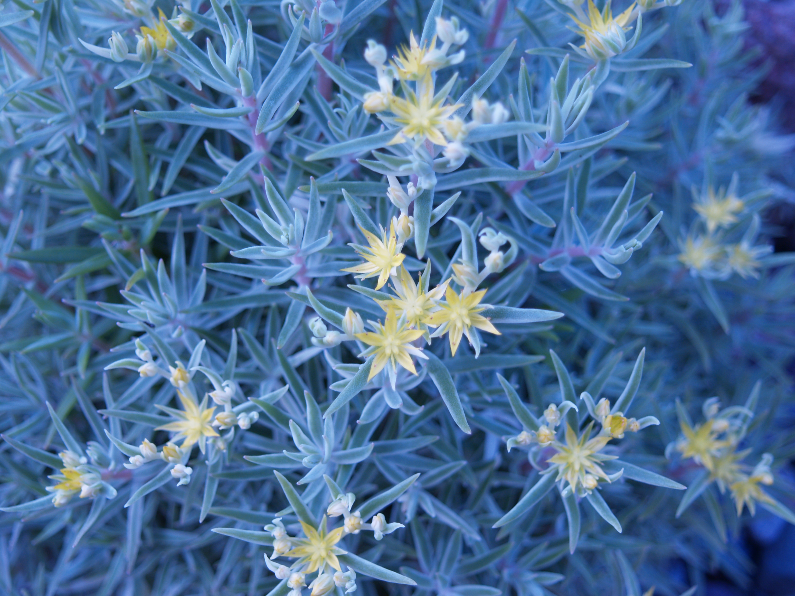 Variegated Creeping Blue Sedum - Michigan Bulb