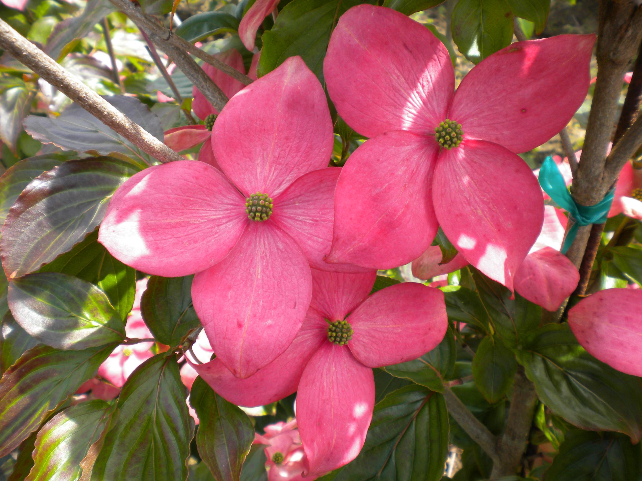 Stellar But Not Pink Ramblin Through Daves Garden