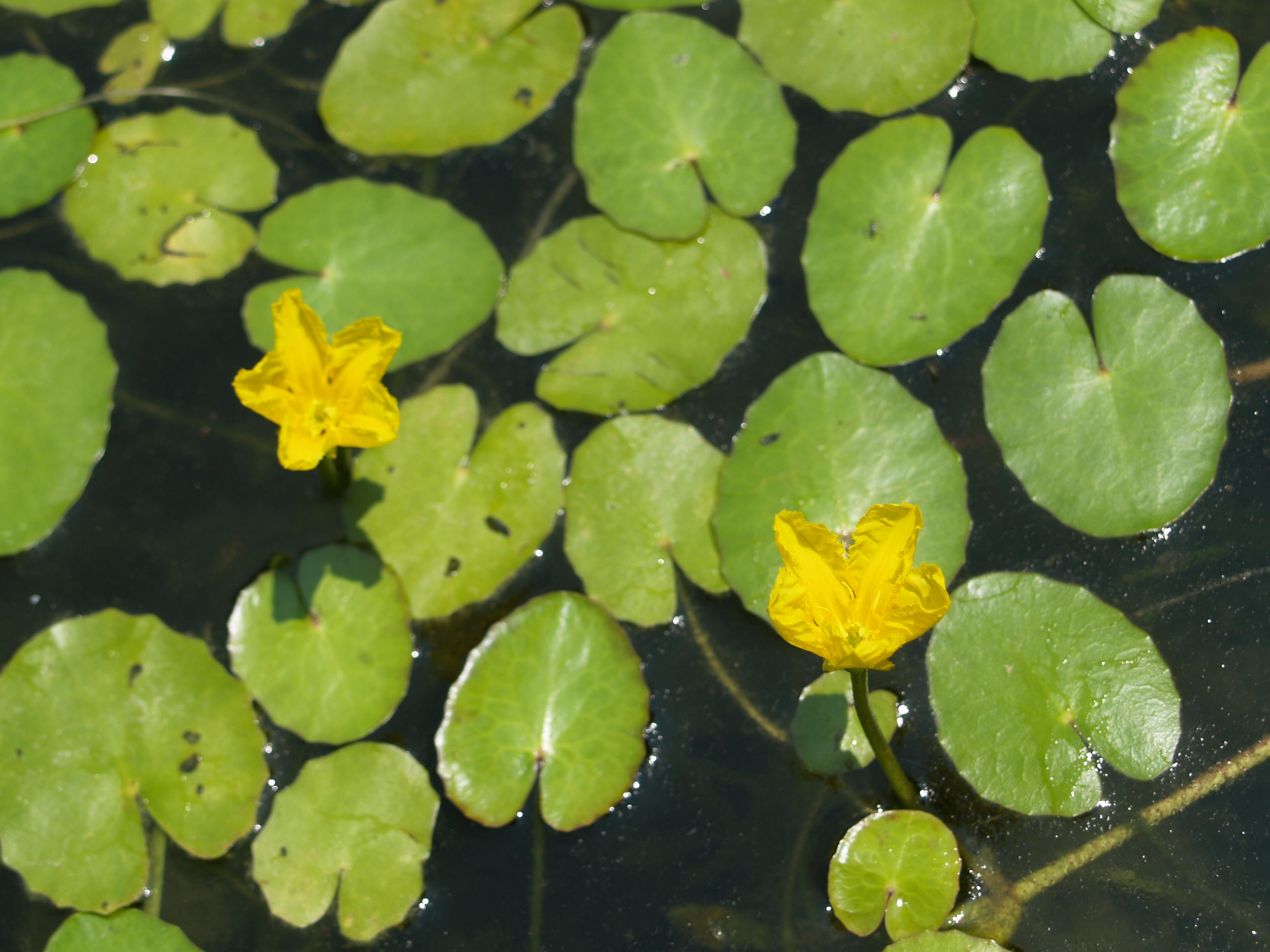 Plants in the water gardens ramblin 39 through dave 39 s garden for Best aquatic plants