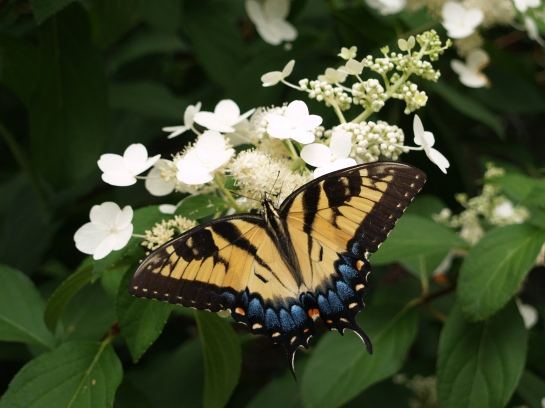 Panicle hydrangea and butterfly