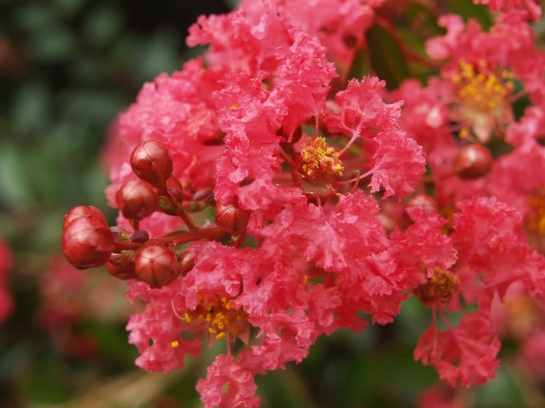 Cherry Dazzle crapemyrtle in mid-August
